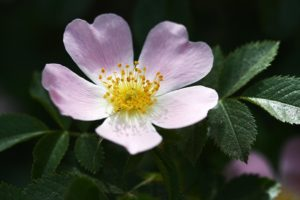 PikiWiki_Israel_3172_Dog_Rose