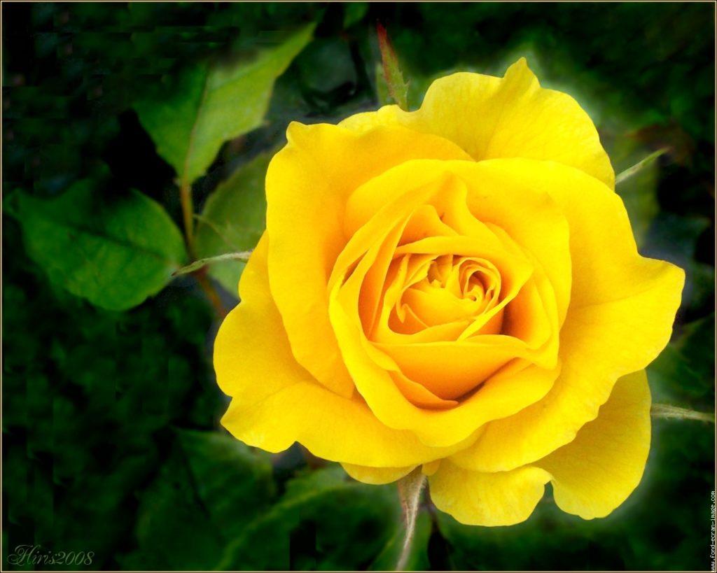 L'attribut alt de cette image est vide, son nom de fichier est hpim2914-rose-jaune-d-or2-2-1024x819.jpg.