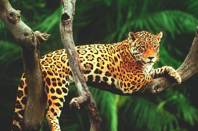 L'attribut alt de cette image est vide, son nom de fichier est jaguar.jpg.
