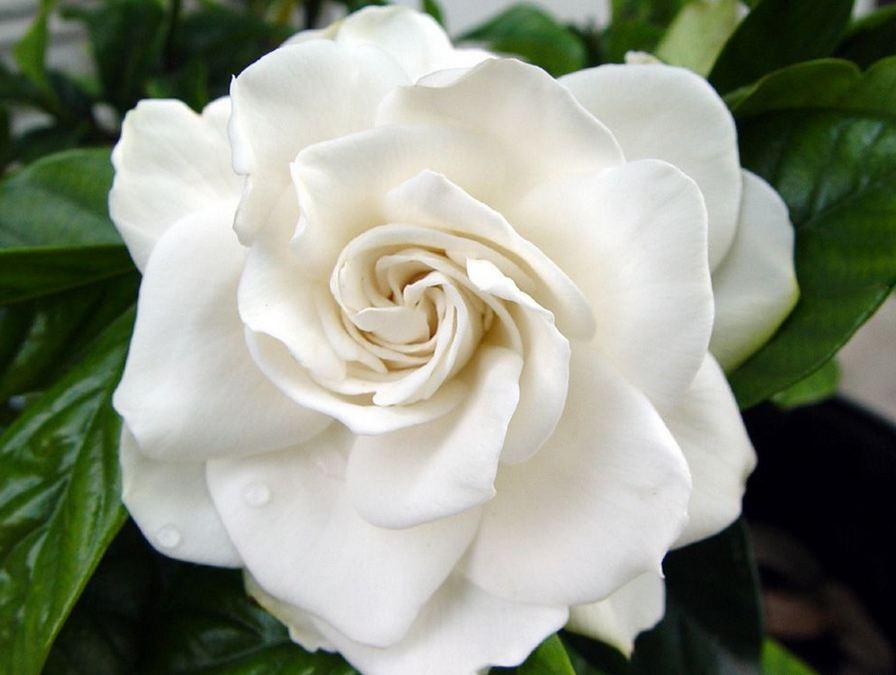 L'attribut alt de cette image est vide, son nom de fichier est Gardenia.jpg.