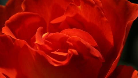 L'attribut alt de cette image est vide, son nom de fichier est 113592347-ouvert-rose-petale-ouvrir.jpg.